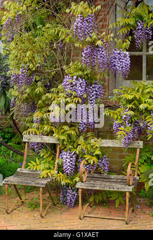 Wisteria floribunda growing around summer house with garden chairs - Stock Photo