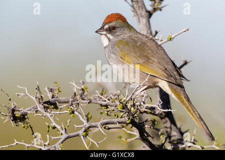Green-tailed Towhee - Pipilo chlorurus - Adult Stock Photo