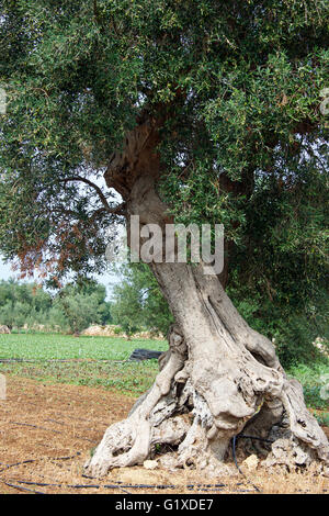 Ancient olive trees, Puglia - Stock Photo