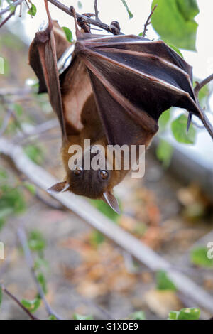 The Lesser short-nosed fruit bat (Cynopterus brachyotis). In the leaves during the daylight - Stock Photo