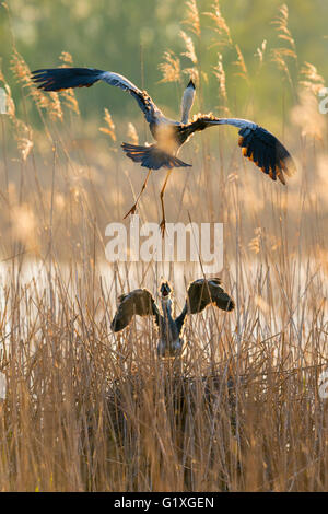 A Grey heron glides down to feed its demanding chick - Stock Photo