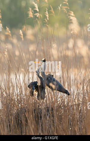 A Grey heron chick demanding food from its parent - Stock Photo