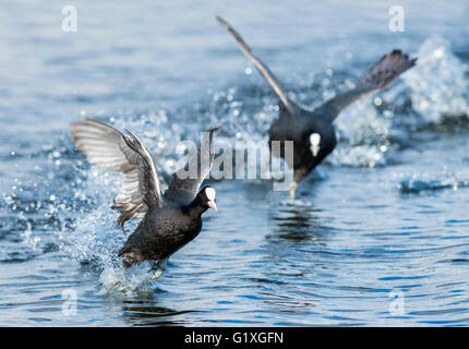 A Coot chases its rival from its territory - Stock Photo