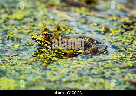 A marsh frog blending in with its surroundings - Stock Photo