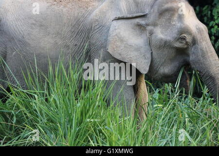 An endangered Bornean pygmy elephant Elephas maximus borneensis eating grass by the side of a road in Maliau Basin, - Stock Photo