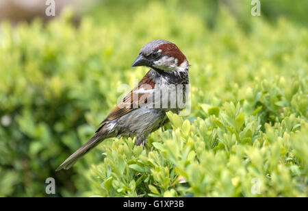 Adult male House sparrow, (Passer domesticus) England, UK - Stock Photo