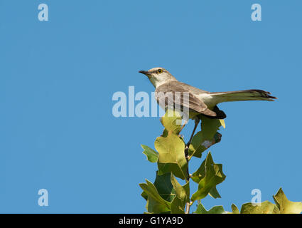 Mimus polyglottos, Northern Mockingbird perched on top of an Oak tree against clear blue sky - Stock Photo