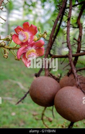 Couroupita guianensis - Cannonball tree flowers - Stock Photo