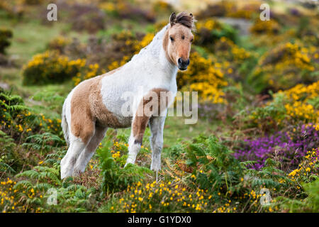 Dartmoor Hill Highland Pony, brown white pied, foals, blooming heather, moorland, Dartmoor National Park, Devon, - Stock Photo