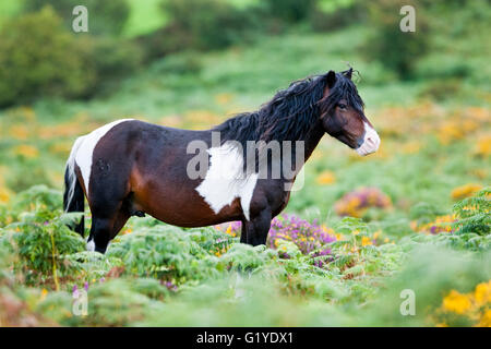 Dartmoor Hill Highland Pony, brown white spotted, stallion, blooming heather, moorland, Dartmoor National Park, - Stock Photo