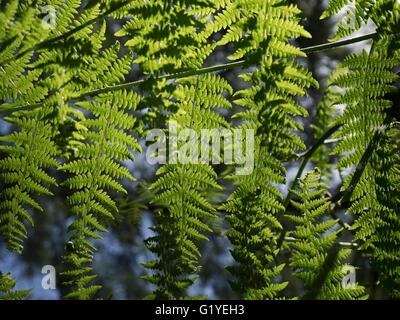 Bracken Pteridium aquilinum growing in woodland North Norfolk UK - Stock Photo