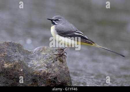 Grey wagtail, Motacilla cinerea, single male by water, Warwickshire, April 2016 - Stock Photo