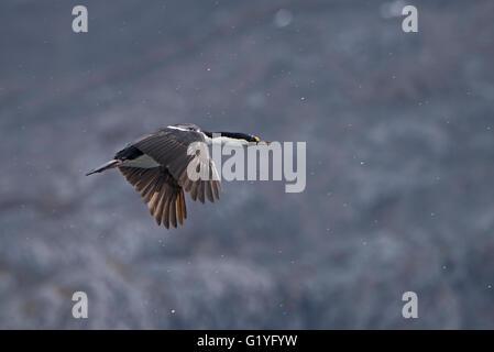 South Georgia Shag Phalacrocorax atriceps georgianus King Haakon Bay, South Georgia - Stock Photo