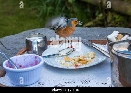 Chaffinch eating crumbs from remains of cream tea, Exmoor, UK - Stock Photo