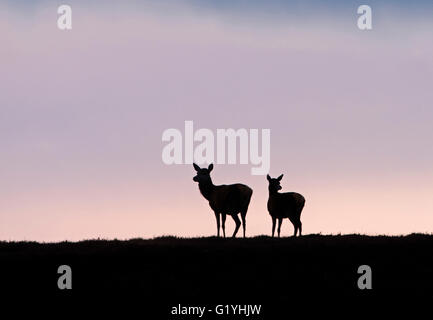Red deer Cervus elaphus hind and young silhouetted on hill Forsinaird The Flows Sutherland & Caithness Scotland - Stock Photo