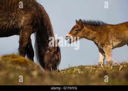 Exmoor pony & young foal seeking attention - Stock Photo