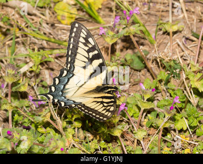 Dorsal view of an Eastern Tiger Swallowtail butterfly feeding on pink Henbit flowers - Stock Photo