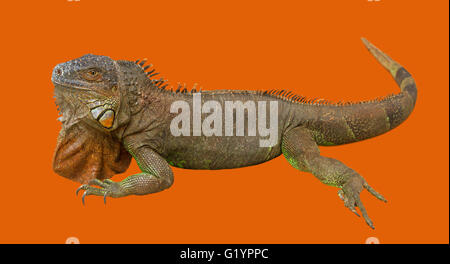 Brown varan isolated on an orange surface. - Stock Photo