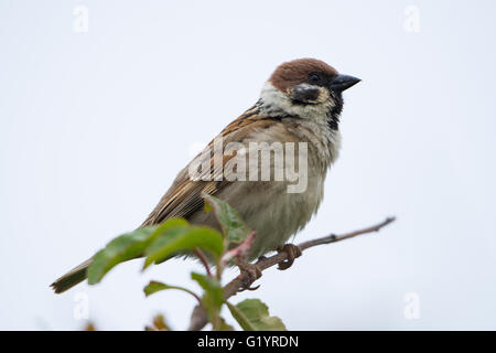 a young Tree Sparrow (Passer montanus) perched on twig against clean background, RSPB Bempton Cliffs, Easy Yorkshire, - Stock Photo