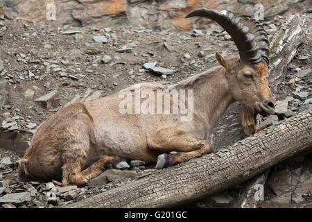 West Caucasian tur (Capra caucasica), also known as the West Caucasian ibex at Prague Zoo, Czech Republic. - Stock Photo