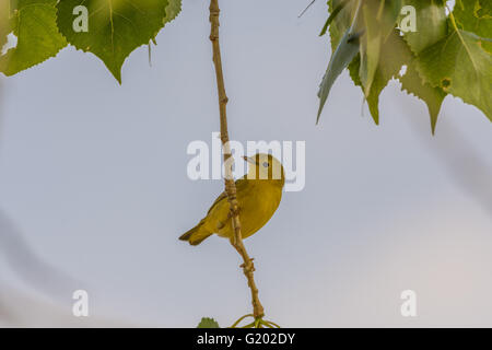 Female Yellow Warbler, (Setophaga petechia), Bosque del Apache National Wildlife Refuge, New Mexico, USA. - Stock Photo