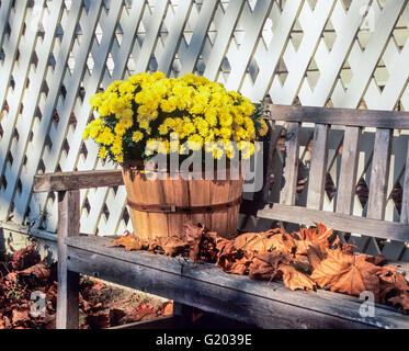 Close up yellow Chrysanthemums in bushel basket on bench, dry leaves, white wooden lattice fence, Monmouth Co., - Stock Photo