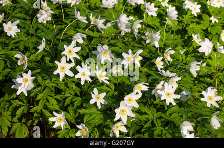 Wood anemone (Anemone nemorosa) - Stock Photo