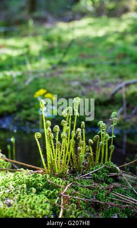 Common lady-fern (Athyrium filix-femina) - Stock Photo