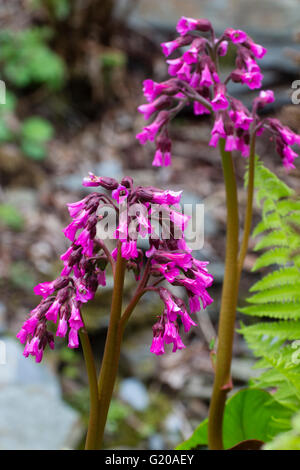 Spring flowers of the large leaved evergreen perennial, Bergenia 'Eric's Best' - Stock Photo