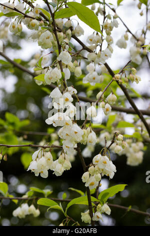 Halesia carolina vestita group flowering in spring stock photo dangling spring bell flowers of the hardy carolina silverbell halesia carolina vestita group mightylinksfo Image collections
