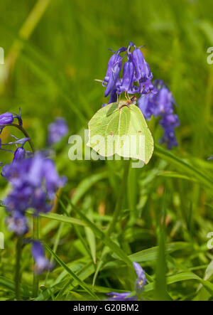 Brimstone butterfly Gonepteryx rhamni on Blue bell  flower head in the English countryside England UK after spending - Stock Photo