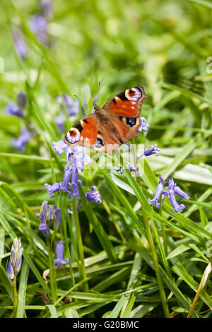 Peacock butterfly Aglais io on bluebell flowers in springtime - Stock Photo