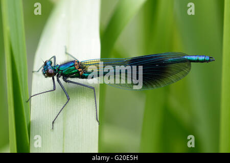 Male Banded Demoiselle (Calopteryx splendens) perched on a reed. - Stock Photo
