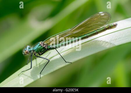 Female Banded Demoiselle (Calopteryx splendens) - Stock Photo