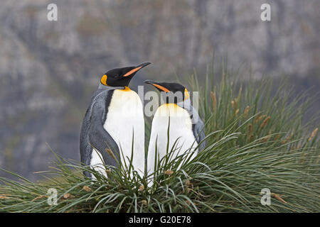 King Penguins Aptenodytes patagonicus Gold Harbour South Georgia - Stock Photo