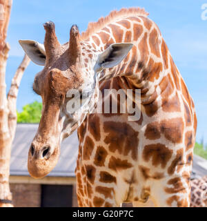 Giraffe. Giraffa camelopardalis, London Zoo, - Stock Photo