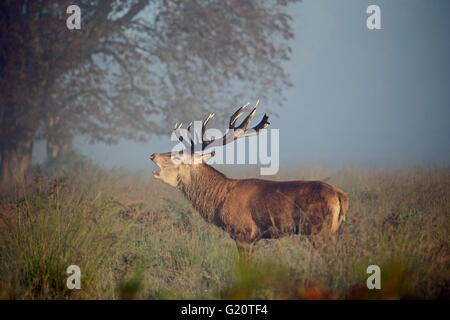 Red Deer (Cervus elaphus) stag during rut on a misty dawn in Richmond Park National Nature Reserve London October - Stock Photo