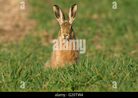 European Brown Hare, Lepus europaeus in winter wheat field Norfolk UK March - Stock Photo