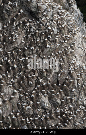 Northern Gannet Sula bassana colony Hermaness Unst Shetland Scotland April - Stock Photo