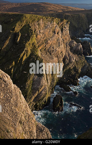 View of Northern Gannet Sula bassana colony on cliffs at Hermaness National Nature Reserve Unst Shetland Scotland - Stock Photo