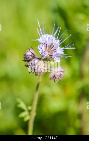 Viper's Bugloss flower close up - Stock Photo
