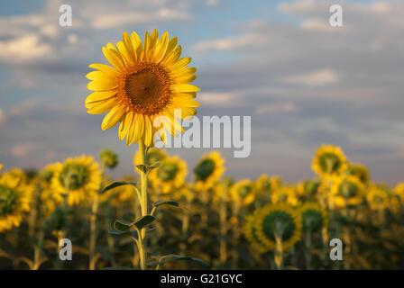 Sunflower portrait. Composition of nature. - Stock Photo