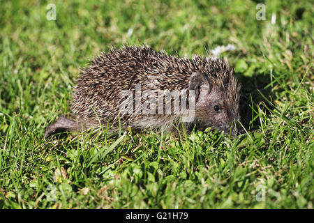 Western hedgehog Erinaceus europaeus very young individual searching for food during very dry weather Ringwood Hampshire - Stock Photo