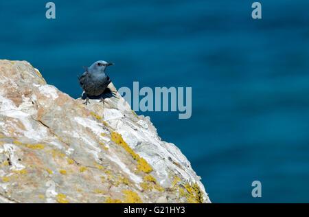 Blue rock thrush (Monticola solitarius) sitting on rock, Sardinia, Italy