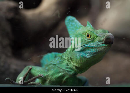 Plumed basilisk (Basiliscus plumifrons), also known as the green basilisk at Prague Zoo, Czech Republic. - Stock Photo