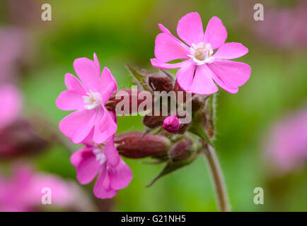 Red Campion (Silene dioica) plant flowering in early Summer in West Sussex, UK. - Stock Photo