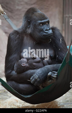 Western lowland gorilla (Gorilla gorilla gorilla) with its two-week-old baby at Prague Zoo, Czech Republic. The - Stock Photo