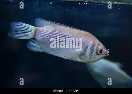 Kissing gourami (Helostoma temminckii), also known as the kissing fish at Prague Zoo, Czech Republic. - Stock Photo
