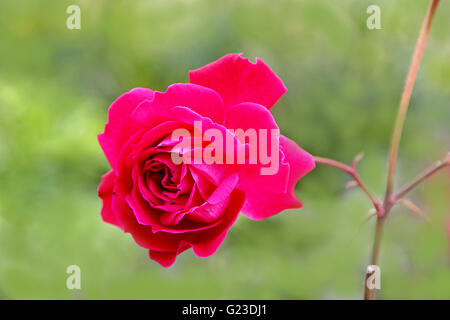 Close-up of red rose flower on blurred green background - Stock Photo