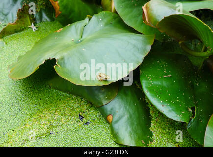 Immature Common Frog (Rana temporaria) on Lilly pad - Stock Photo